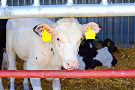 cope: The content of calves at dairy farm