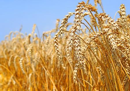 Grain field in the rural landscape Stock Photo