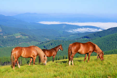 Horsea on a summer pasture in the Carpathian Mountains. Ukraine Stock Photo