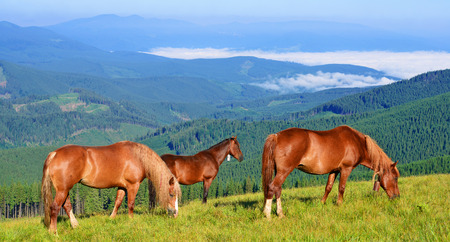 Horses on a summer pasture in the Carpathian Mountains. Ukraine