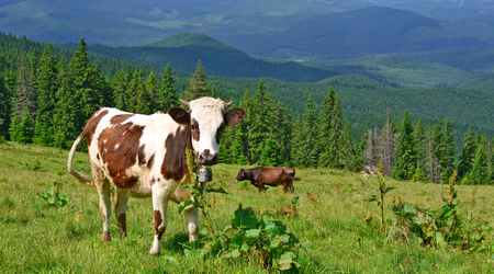 milker: The calf on a summer pasture in the Carpathian Mountains