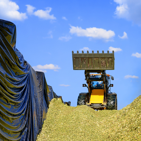 Ramming of corn silage in the silo trench on a dairy farm Stock Photo