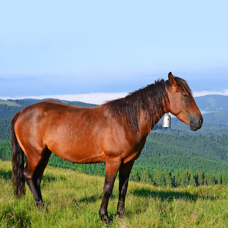 Horse on a summer pasture in the Carpathian Mountains Stock Photo