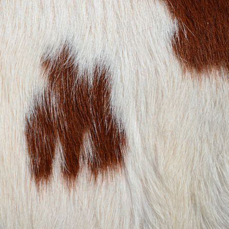 rural economy: Fragment of a skin of a cow Stock Photo