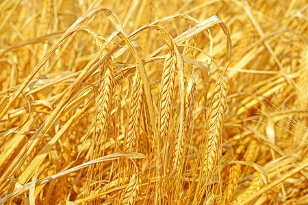 barley head: Grain field in the rural landscape. Barley