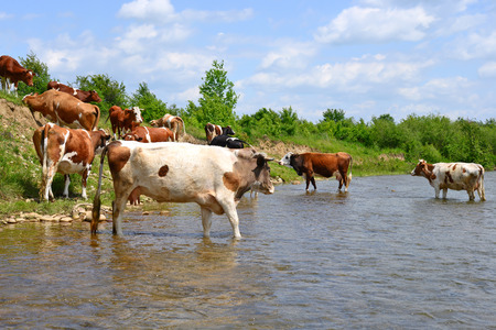 rural economy: Cows on a watering place Stock Photo