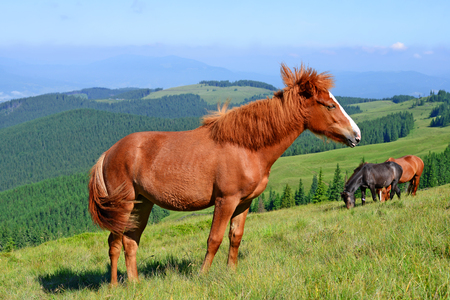 livestock sector: Horses on a summer pasture in the Carpathian Mountains. Ukraine