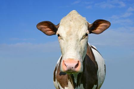 heifers: Head of a cow against the sky Stock Photo