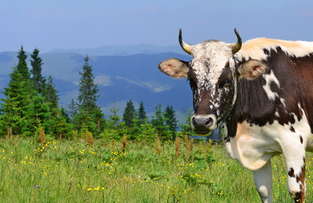 livestock sector: Cow on a summer pasture in the Carpathian Mountains.