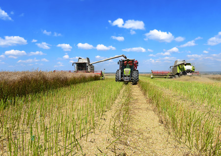 agricultural application tractor: Overloading of rape with grain harvester in tractor trailer tank in field Stock Photo