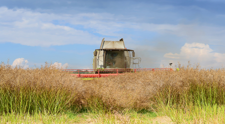 Modern combine harvesting of rape