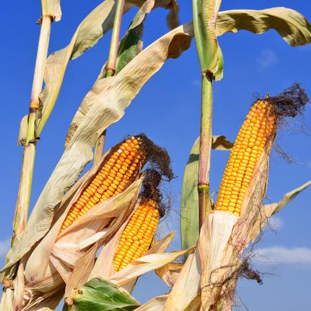 fodder corn: Ripe corn