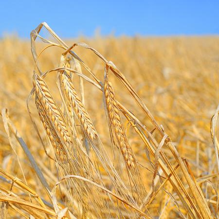 Grain field in the rural landscape. Barley .