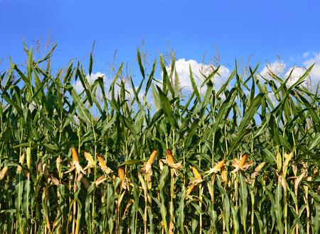 fodder corn: Ripe corn in the rural landscape.