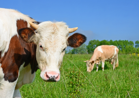 Head of the calf against a pasture Stock Photo