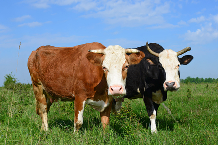 Cows on a summer pasture. Stock Photo