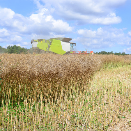 tenure: Modern combine harvesting rape field Stock Photo