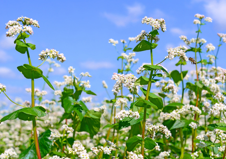 Field of buckwheat. Insect pollination. Bee.