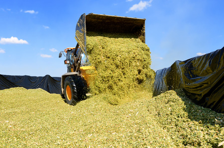 Ramming of corn silage in the silo trench on a dairy farm Banco de Imagens