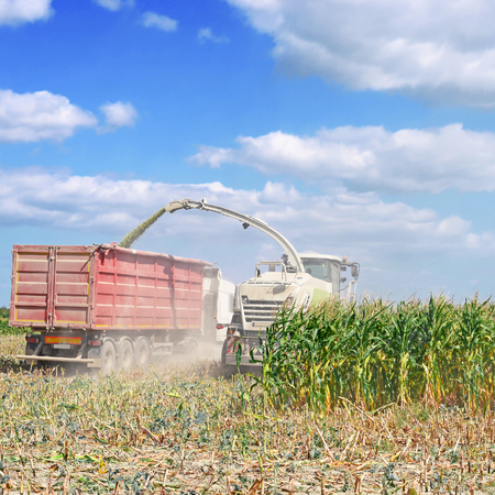 rural economy: Harvesting of corn silage in the field Stock Photo