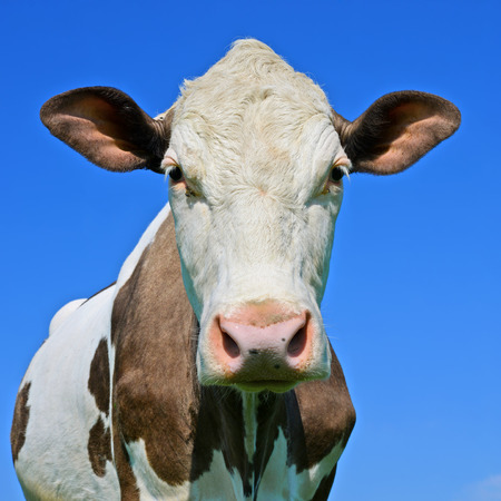 Head of a cow against the sky Stock Photo