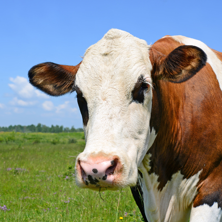 Head of a cow against the pasture Stock Photo
