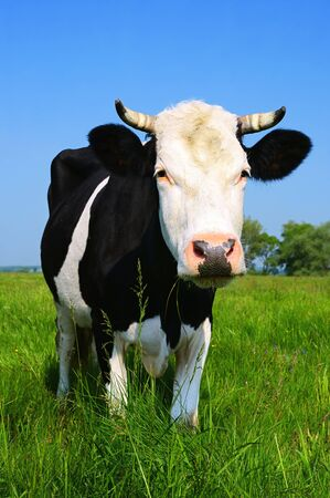 Cow on a summer pasture Stock Photo