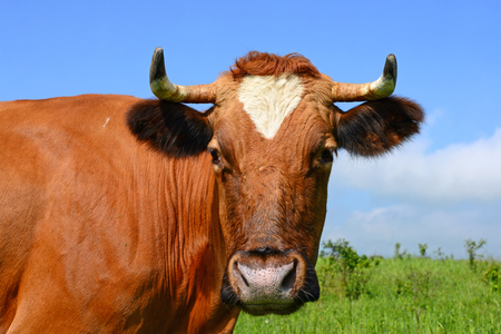 Head of a cow against the pasture.. Stock Photo