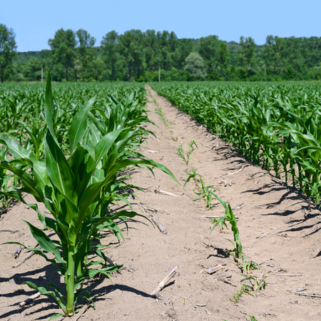 Corn field with young shoots