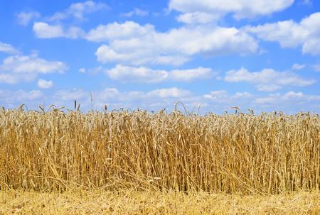 barley head: Grain field in the rural landscape Stock Photo