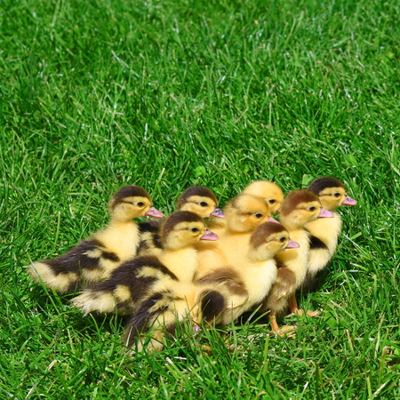 Ducklings on walk