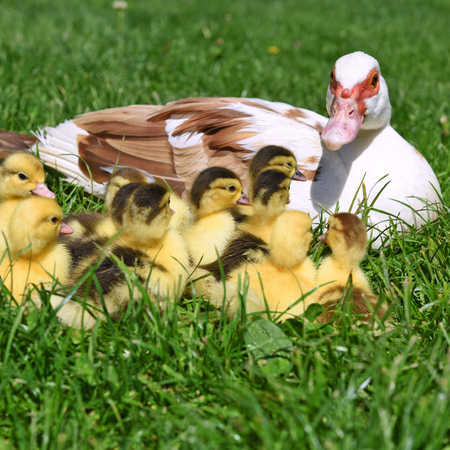Duck with ducklings for a walk in a summer landscape.