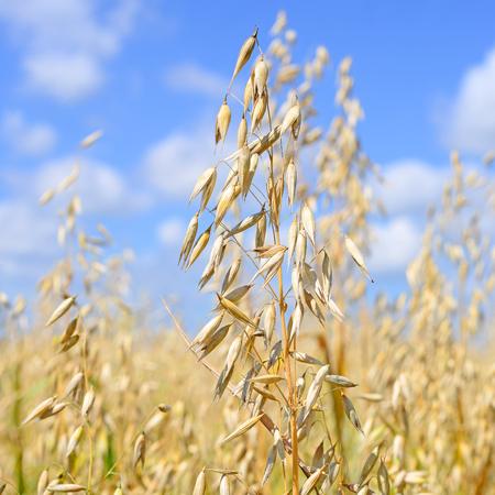 Stalks of oats