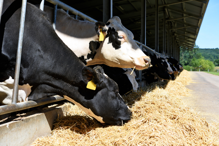 The content of cows in the barn of a dairy farm.