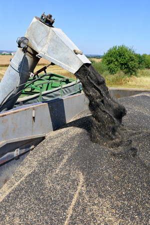 tenure: Overloading rapeseed tractor with hopper in the car in the field