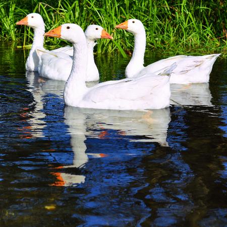 Geese swim in the river Stok Fotoğraf