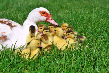 Duck with ducklings for a walk