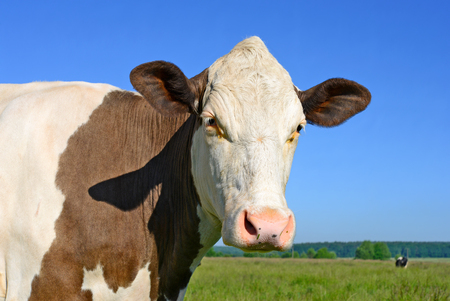 Head of a cow against the pasture Standard-Bild