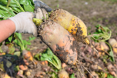 Sugar beet in the hands of the farmer.