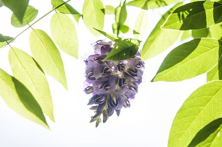 wisteria: a beautiful, backlit image of a wisertia flower, with surrounding leaves Stock Photo
