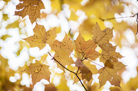 dangle: Maple leaves dangle from a tree in the final days before they fall to earth
