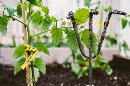 Closeup of recently planted organic tomato plant, in an urban garden bed along with a dirty gardening tool Stock Photo - 19665939