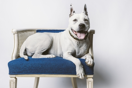 pitbull: Lovable Older Dog Resting on Blue Wicker Chair Stock Photo
