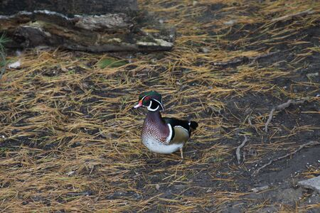 water fowl: Wood Duck 2