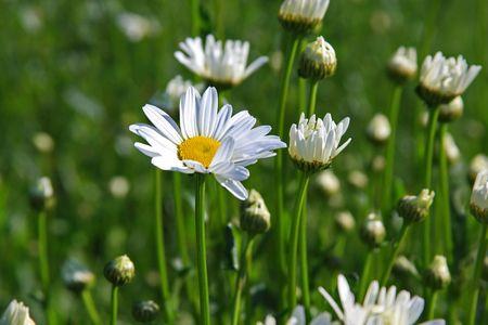 northeast ohio: Daisy beckons spring