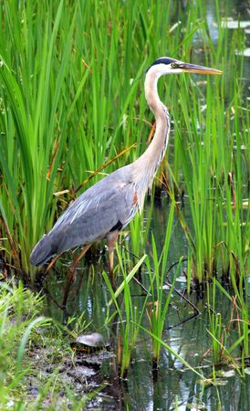 water fowl: Blue Heron in the Reeds