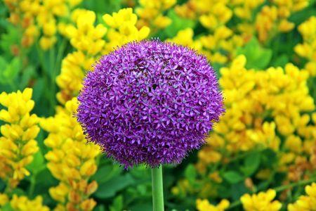 northeast ohio: Allium
