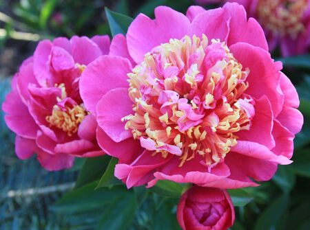 yellow: Pink and Yellow Peony Explosion