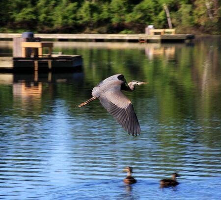 northeast ohio: Blue Heron in Flight
