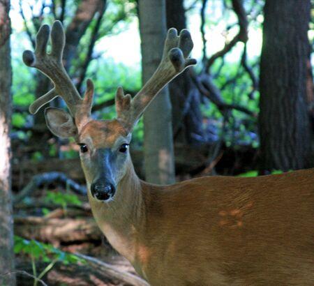 northeast ohio: Young Buck in Profile